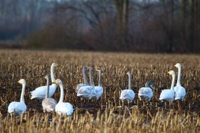 wild whooper swans in late autumn