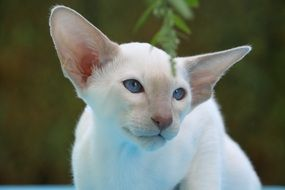 white siamese cat with blue eyes