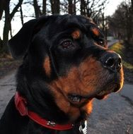 Rottweiler Dog, portrait outdoor