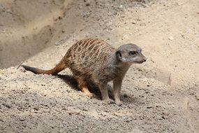 small meerkat in the zoo