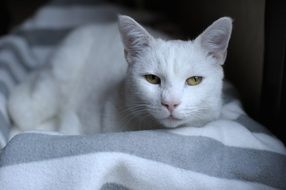 white cat with yellow eyes in black and white background