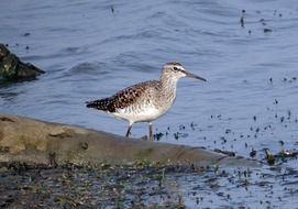 sandpiper by the river
