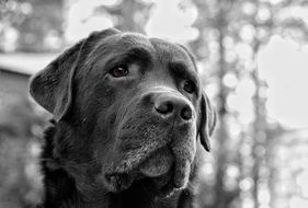 portrait of a labrador in black and white