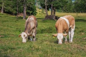 grazing diary cows