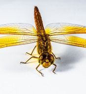 yellow dragonfly on a white background