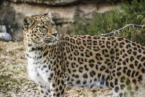 graceful persian leopard