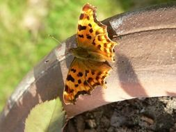 orange butterfly with black spots in the garden