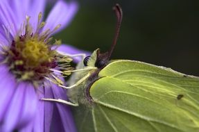 closeup of a gonepteryx rhamni on the purple flower
