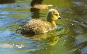canadian duckling floats on water