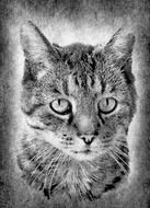 Domestic Cat Black and White portrait