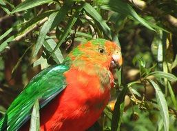 parrot on a green tree in australia