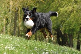 domestic dog with a ball