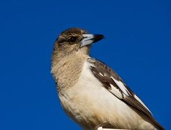 Picture of Pied Butcherbird