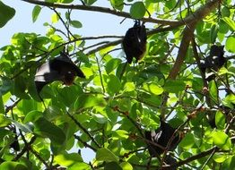 hanging bats in india