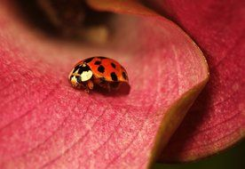 Lady Bug Insect on red Flower macro