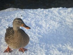 duck on a white ice floe