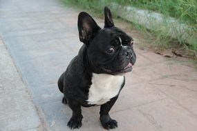 black white french bulldog puppy is sitting on the road