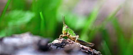 incredible Grasshopper Insect