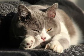 napping grey and white domestic cat