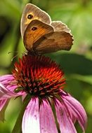 beautiful butterfly on the echinacea flower
