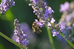 honey bee on lavender field