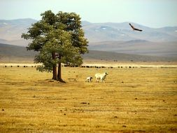 Sheep in the mountain steppe
