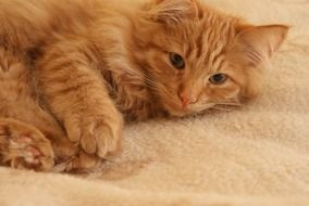 fluffy red young Cat lays on side