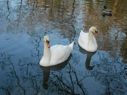 two white Swans and duck on calm Water