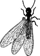 black and white drawing of an insect with transparent wings