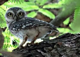 hunting spotted owlet