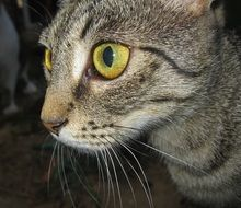 tabby cat with expressive green eyes