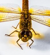 yellow dragonfly closeup