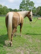 Arabian horse with a golden mane
