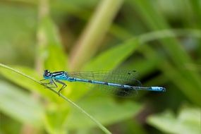 blue dragonfly on a blade of grass Macro