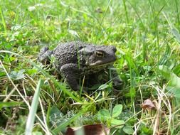Common toad in a green garden
