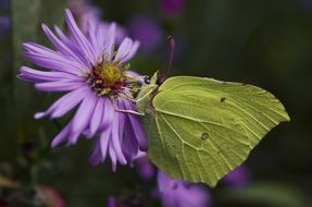 gonepteryx rhamni butterfly on the purple flower