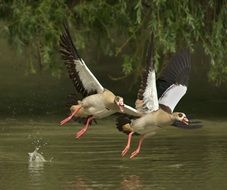 two wild goose take off over a pond