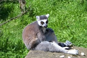 beautiful and cute Lemur Animal
