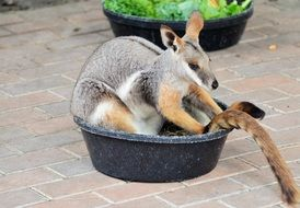 Bennett's tree-kangaroo sits in bowl