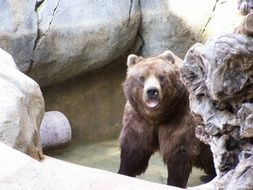 brown Grizzly Bear in Zoo