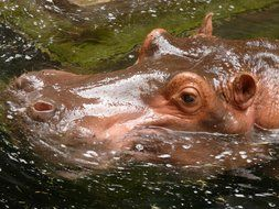 hippo head in water