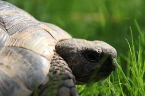 big turtle on grass close up