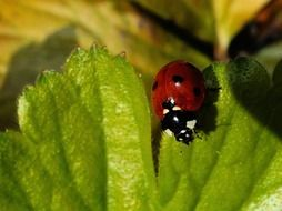 ladybug with black dots on a green leaf