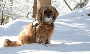 Tibetan terrier walks in the forest in winter