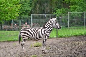 Wild Zebra in the zoo