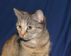 portrait of a domestic cat on the blue background
