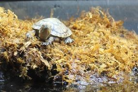 Turtle in yellow Moss portrait