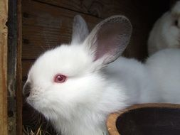 cute fluffy white rabbit with blue eyes