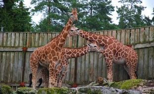 giraffes in the park near a wooden fence