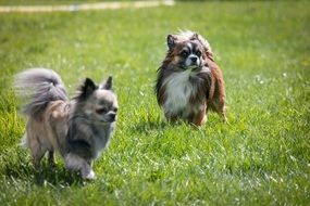 two chihuahua dog breed